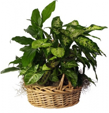 Mixed Green Plants Basket