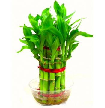 Indoor Lucky Bamboo Plant