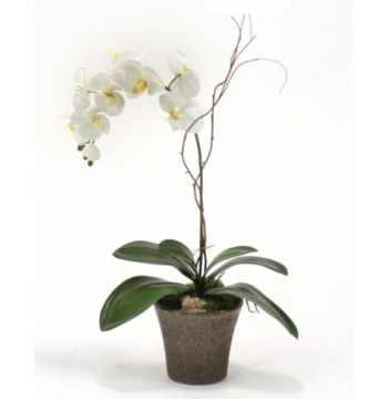 Phalaenopsis Orchid Plant in Orchid Pot