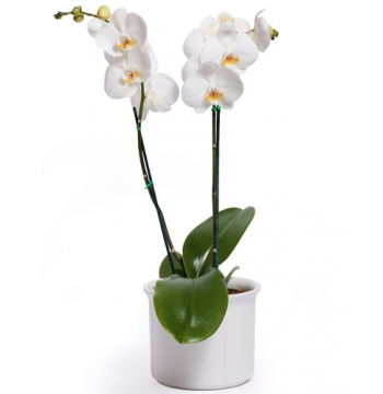 Beautiful White Phalaenopsis Orchid - Double Stem