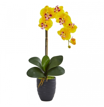 ​Phalaenopsis Yellow Orchids Plants